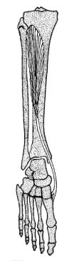 The 'shin splints muscle'