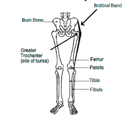 The Iliotibial Band on a female skeleton